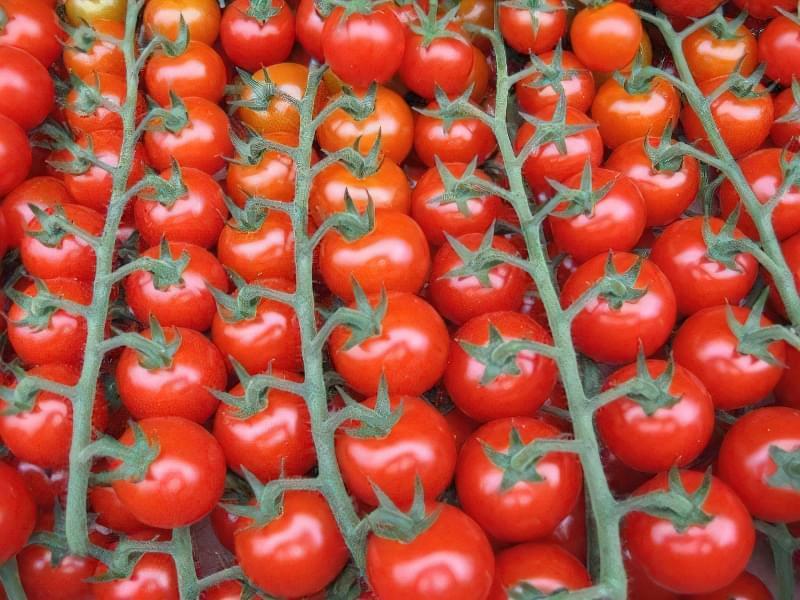 Томати черрі — особливості вирощування різних сортів 2