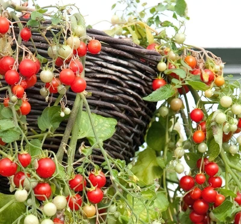 Томати черрі — особливості вирощування різних сортів 4