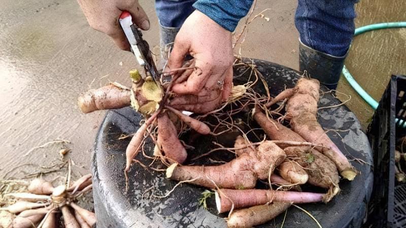 Як правильно ділити кореневища жоржини? 3