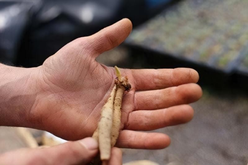 Як правильно ділити кореневища жоржини? 4