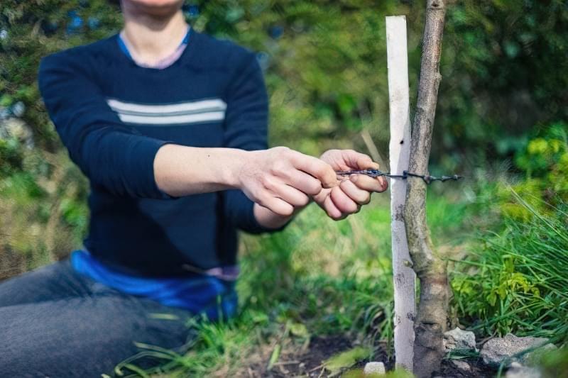 Як правильно посадити дерево? 4