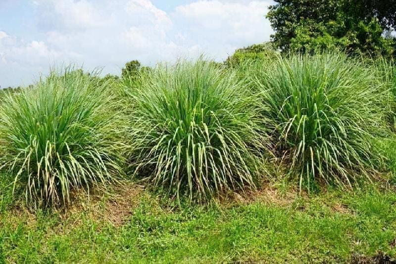 Рослини, які проженуть комарів з ділянки 6