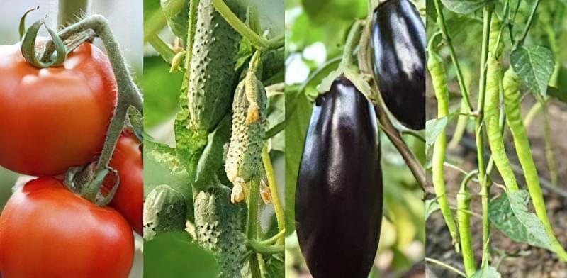 Змішані посадки: що посадити на одній грядці з помідорами 2