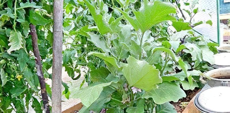 Змішані посадки: що посадити на одній грядці з помідорами 4