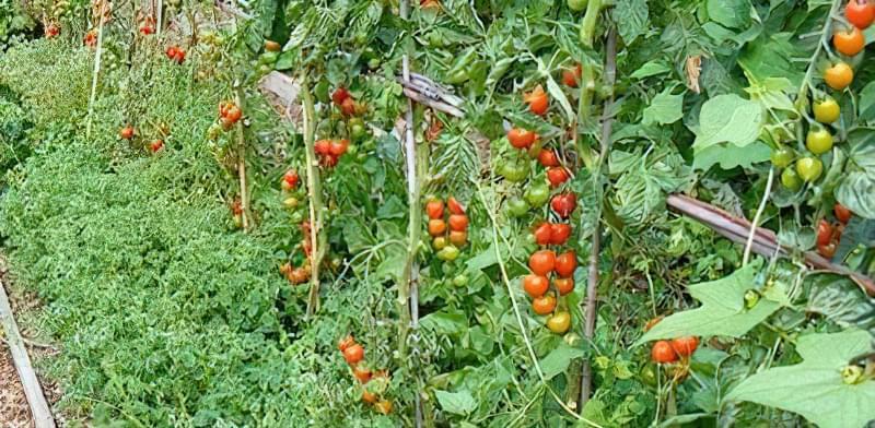 Змішані посадки: що посадити на одній грядці з помідорами 21