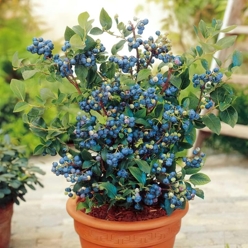 Чорниця: вирощування в саду, корисні властивості та рецепти 1