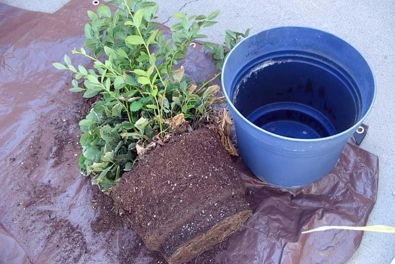 Чорниця: вирощування в саду, корисні властивості та рецепти 2