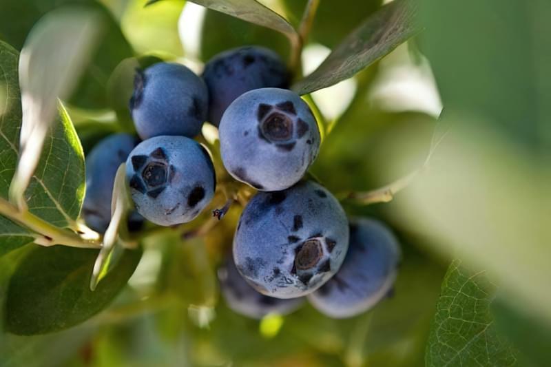 Чорниця: вирощування в саду, корисні властивості та рецепти 4