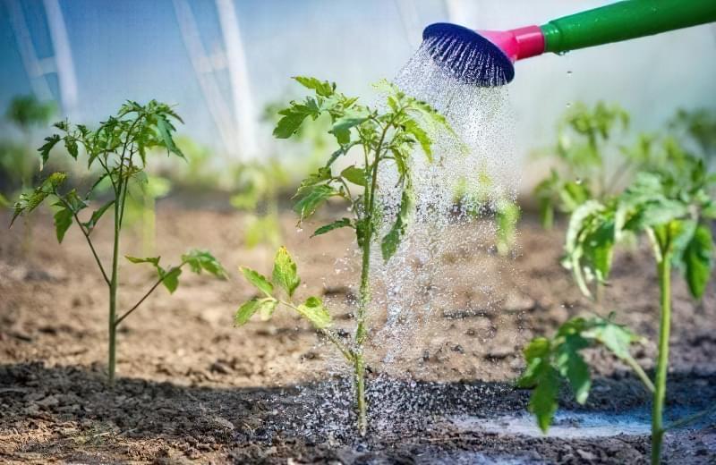 Коли висаджувати помідори, огірки та перець у відкритий грунт: терміни та умови 2