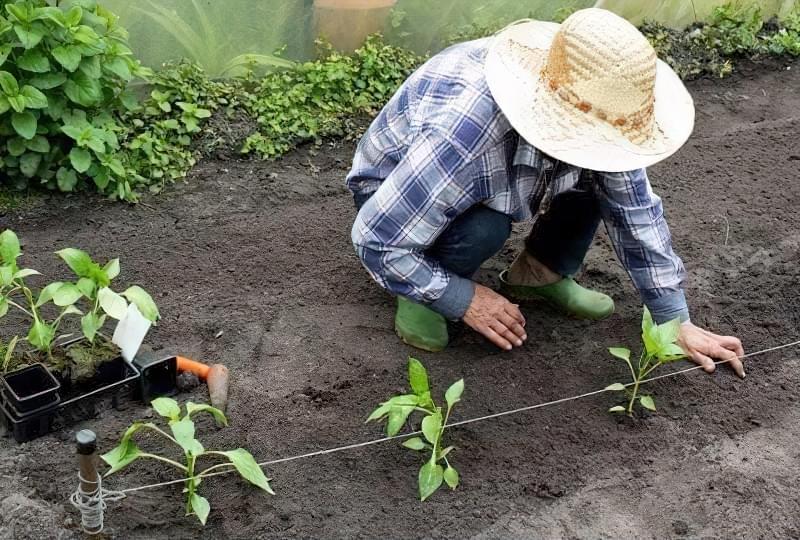 Коли висаджувати помідори, огірки та перець у відкритий грунт: терміни та умови 3
