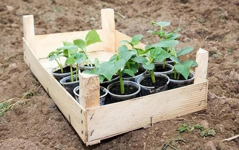 Коли висаджувати помідори, огірки та перець у відкритий грунт: терміни та умови 4