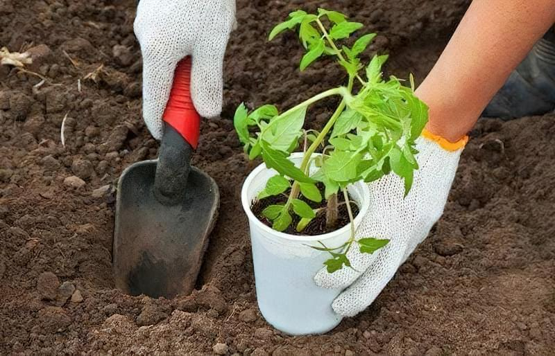 Коли висаджувати помідори, огірки та перець у відкритий грунт: терміни та умови 1