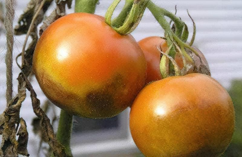 Уберегти рослини від фітофтори можна і за допомогою народних засобів