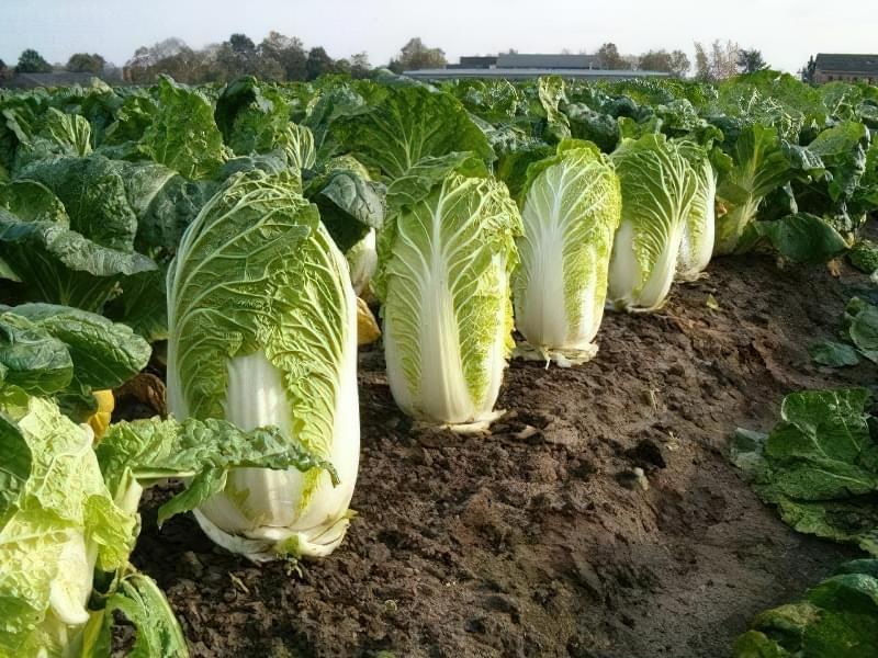 Пекінська капуста — особливості вирощування