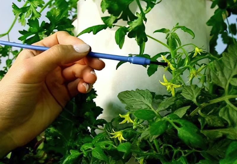 Запилення томатів у теплиці пензликом
