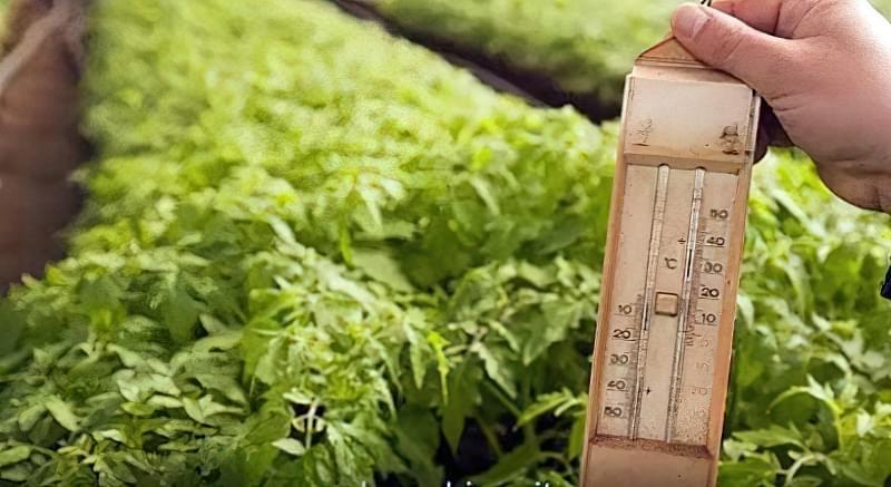 Контроль температури в теплиці з томатами