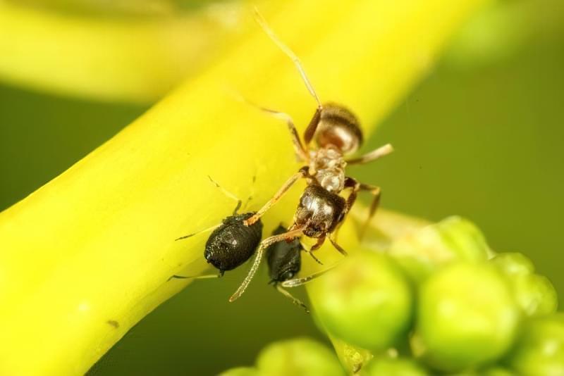 Попелиця і мурахи — як з ними боротися? 2