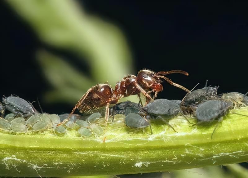 Попелиця і мурахи — як з ними боротися? 1