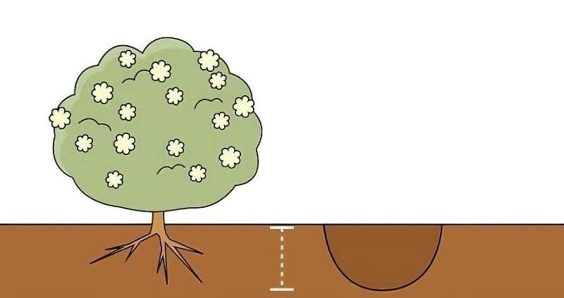 Розмір посадкових ям безпосередньо залежить від об'єму кореневої системи саджанця