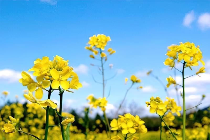 Квітки гірчиці