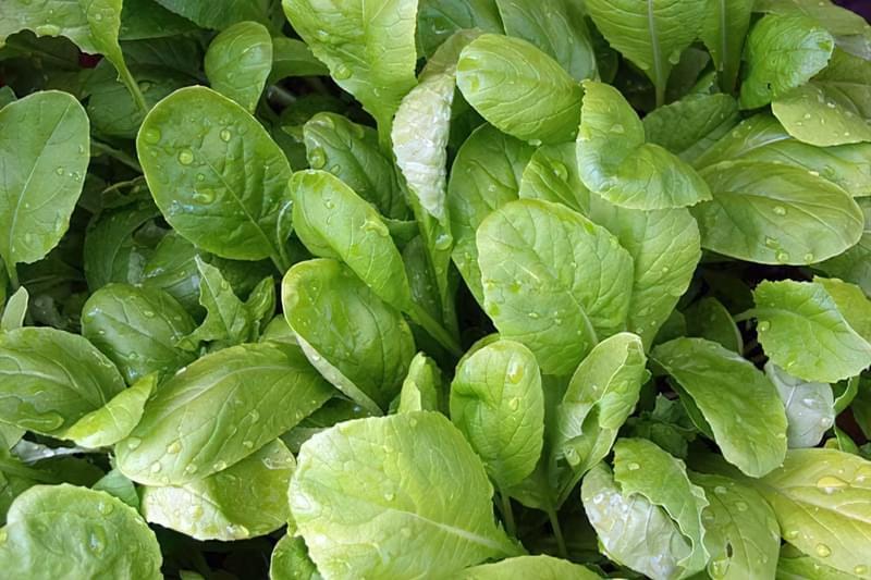 Салатна гірчиця: вирощування і догляд, корисні властивості 1