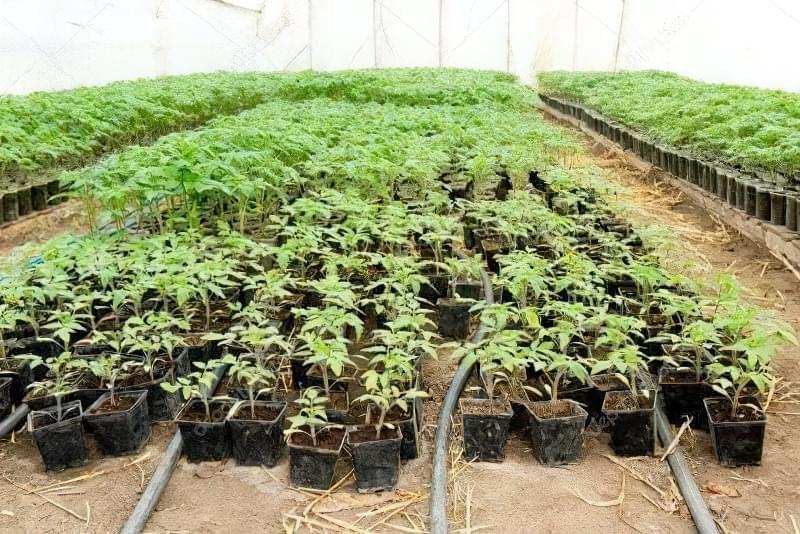 Розсада томатів у теплиці