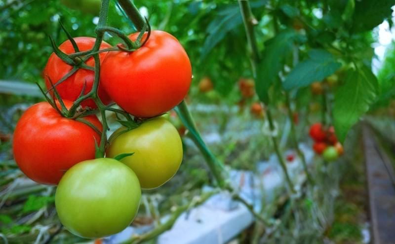 Вплив температури на розвиток томатів 1