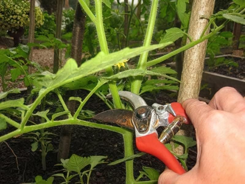 Як обрізати помідори у відкритому грунті: правила і терміни 1