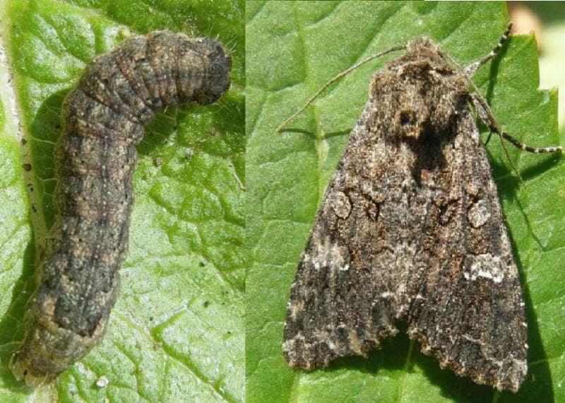 Метелик і личинки капустяної совки