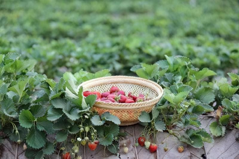 Правильний вибір материнського куща - запорука здорової розсади полуниці