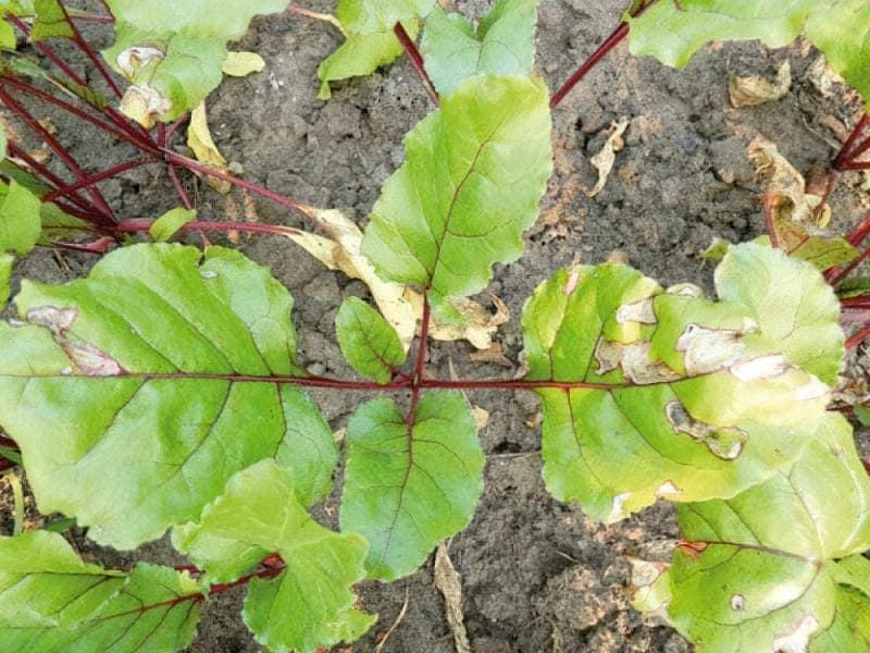 Пожовтіння листків у буряків