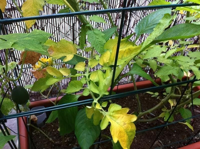 Чому жовтіє листя томатів? 1
