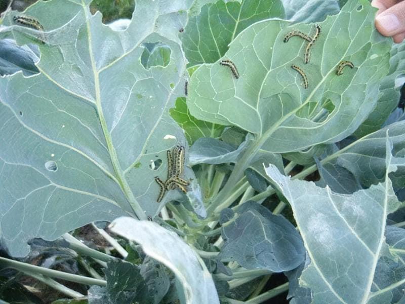 Шкідники капусти - гусениці
