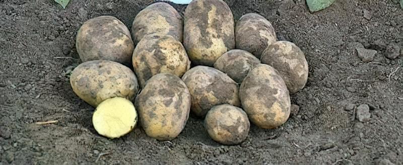 Самі розсипчасті сорти картоплі для пюре. Краща картопля для смаження і салатів 9