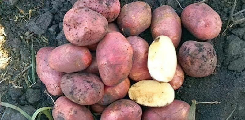 Самі розсипчасті сорти картоплі для пюре. Краща картопля для смаження і салатів 11