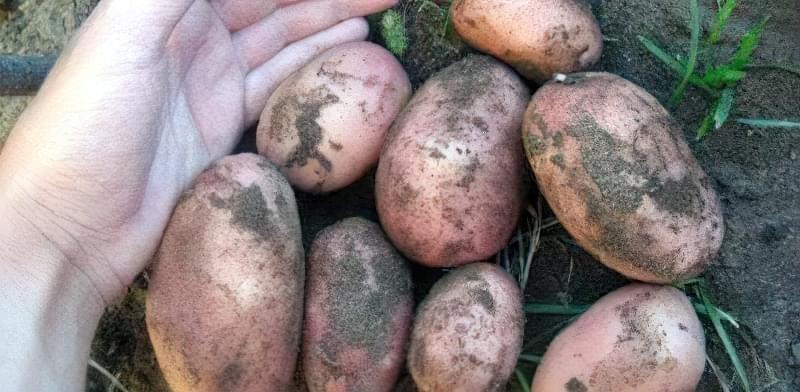 Самі розсипчасті сорти картоплі для пюре. Краща картопля для смаження і салатів 3