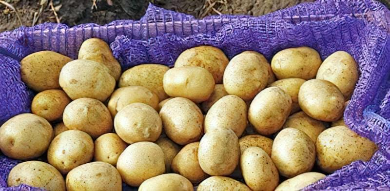 Самі розсипчасті сорти картоплі для пюре. Краща картопля для смаження і салатів 5