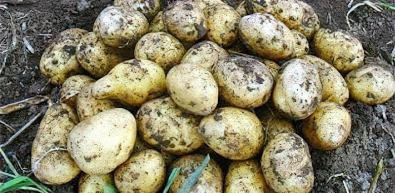 Самі розсипчасті сорти картоплі для пюре. Краща картопля для смаження і салатів 6