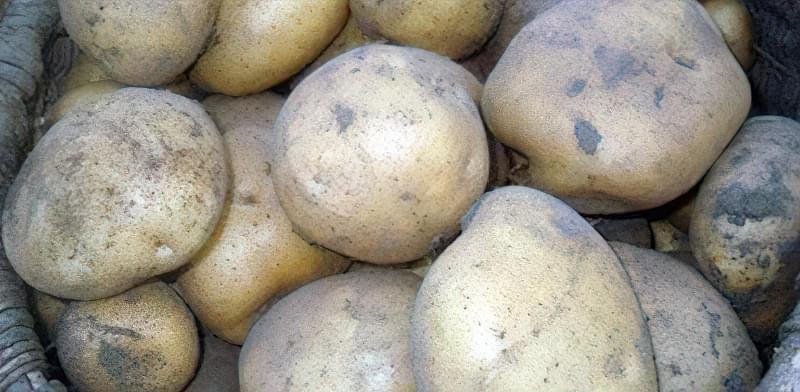 Самі розсипчасті сорти картоплі для пюре. Краща картопля для смаження і салатів 8