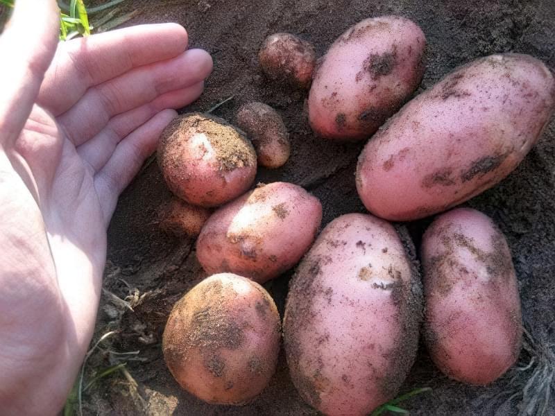 Урожай куща картоплі сорту Ред Скарлет