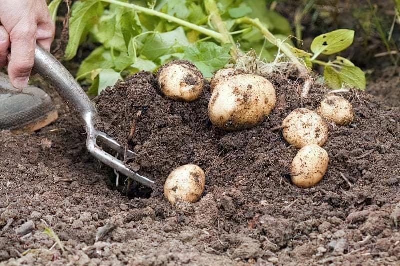 Ручний спосіб викопування картоплі за допомогою вил