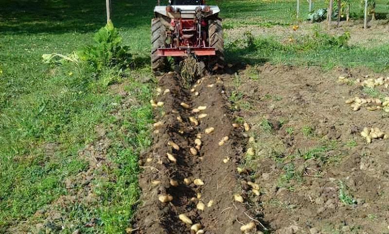 Збір врожаю картоплі за допомогою культиватора