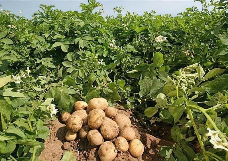 Коли копати картоплю: поради по збиранню врожаю