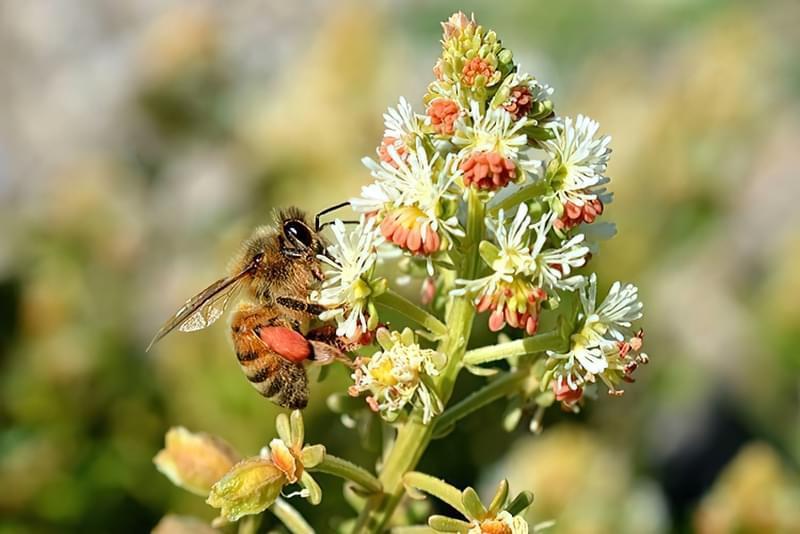Резеда запашна позбавить від болю і приверне в сад комах