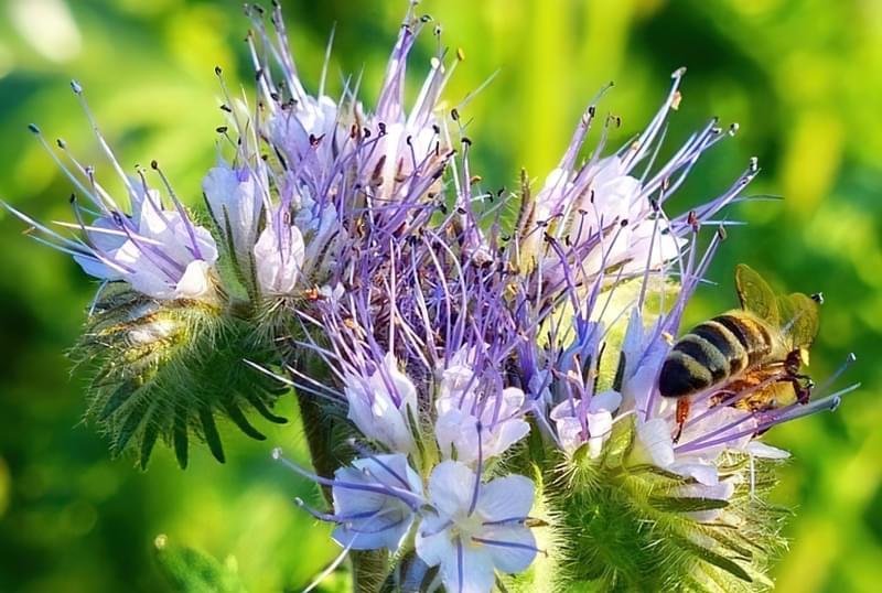 Фацелія не тільки сидерат, але і аттрактор для бджіл