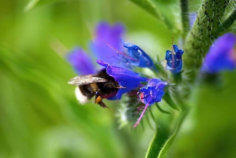Ехіум приваблює бджіл у сад