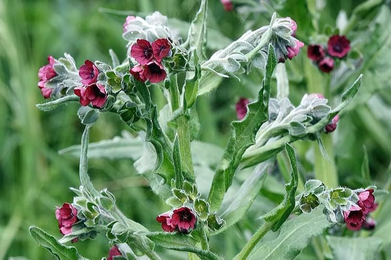 Чорнокорінь (циноглоссум) - красивоквітнучий бур'ян, що приваблює бджіл
