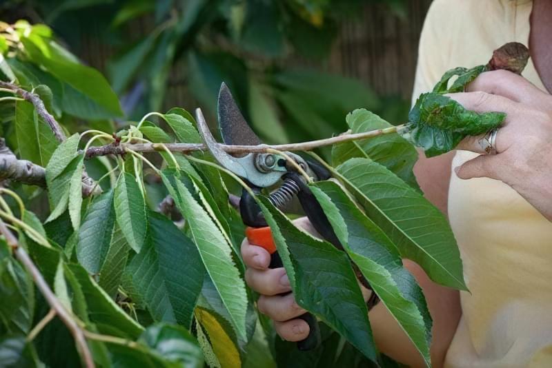 Правильна літня обрізка плодових дерев 2