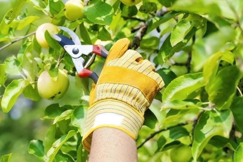 Правильна літня обрізка плодових дерев 1