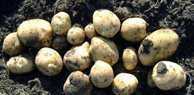 Найсмачніші сорти картоплі: опис, фото 11